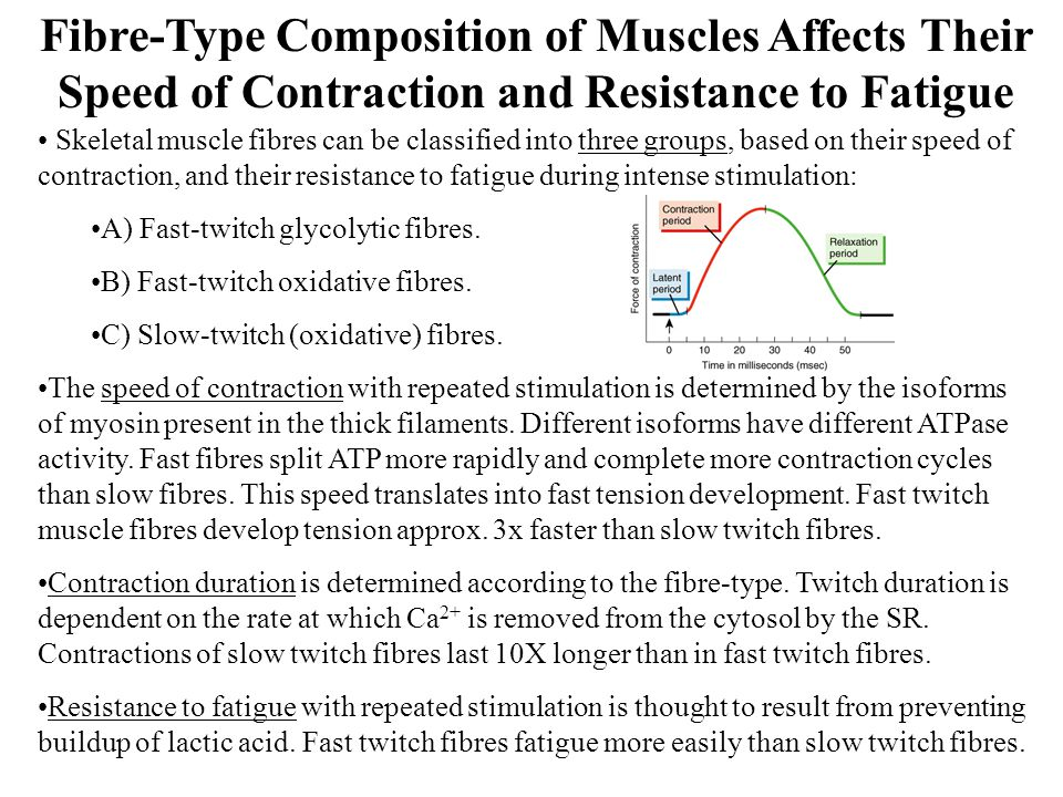 Fibre-Type Composition of Muscles Affects Their Speed of Contraction and Resistance to Fatigue
