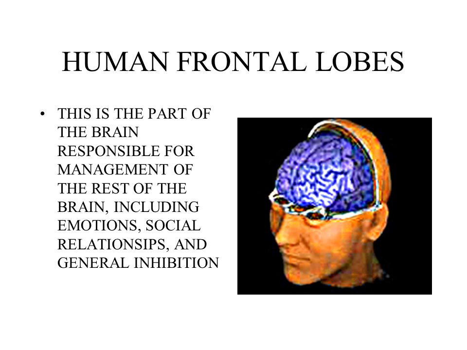 HUMAN FRONTAL LOBES