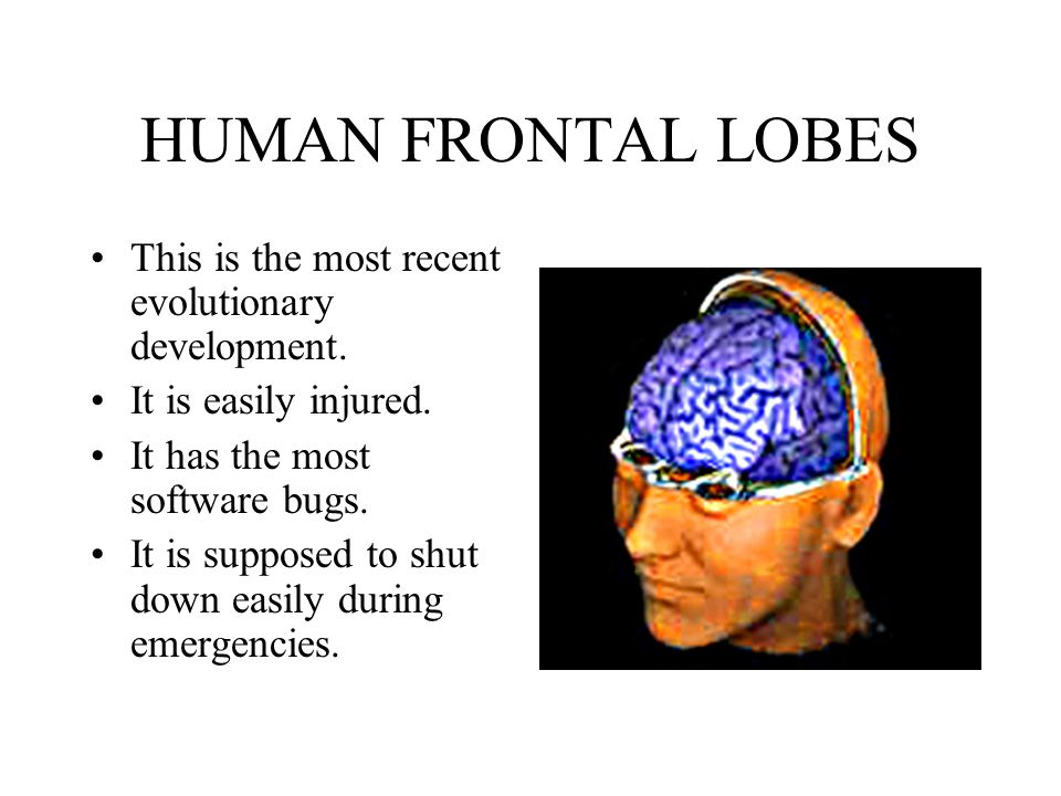 HUMAN FRONTAL LOBES This is the most recent evolutionary development.