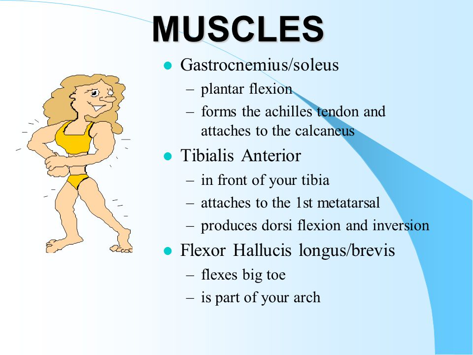 MUSCLES Gastrocnemius/soleus Tibialis Anterior