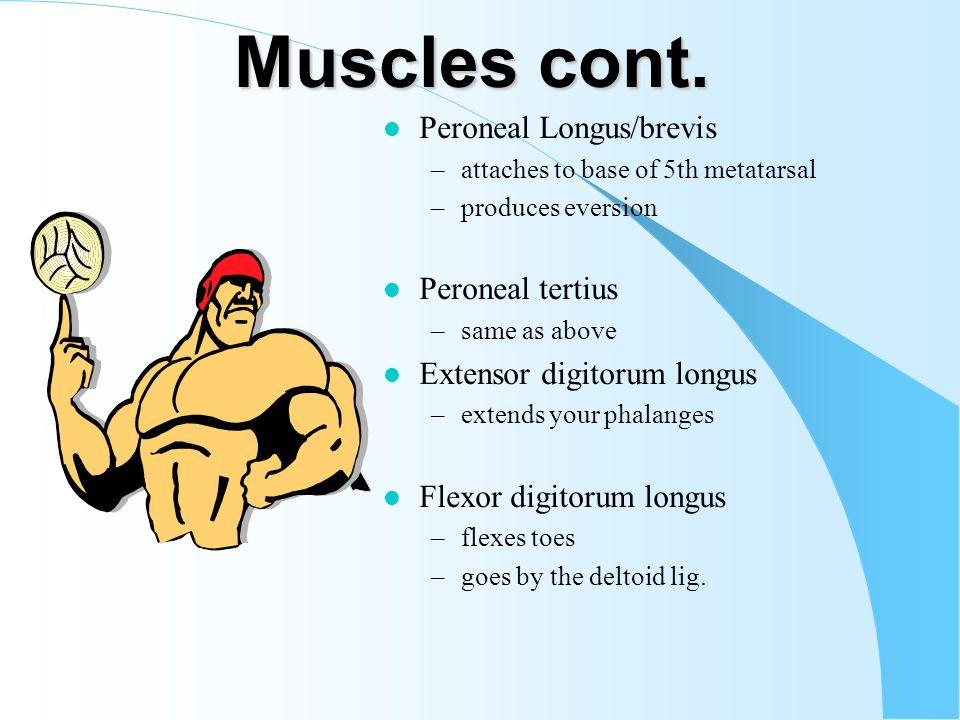 Muscles cont. Peroneal Longus/brevis Peroneal tertius