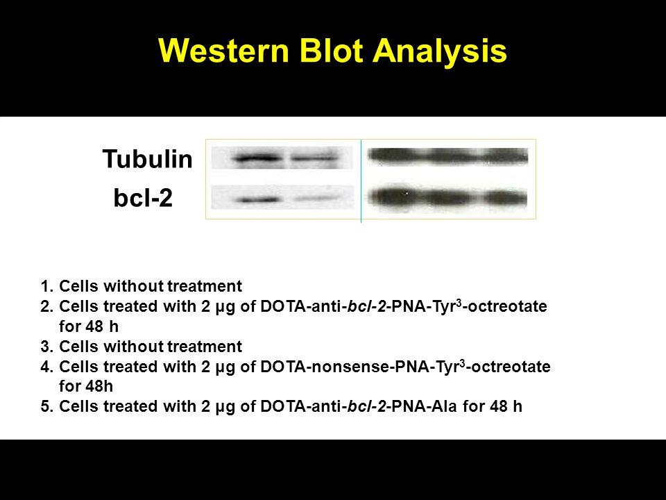 Western Blot Analysis Tubulin bcl-2 1 2 3 4 5