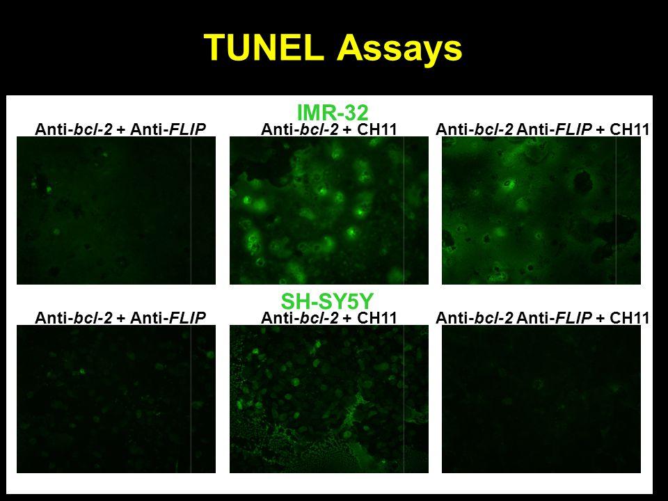 TUNEL Assays IMR-32 SH-SY5Y Anti-bcl-2 + Anti-FLIP Anti-bcl-2 + CH11