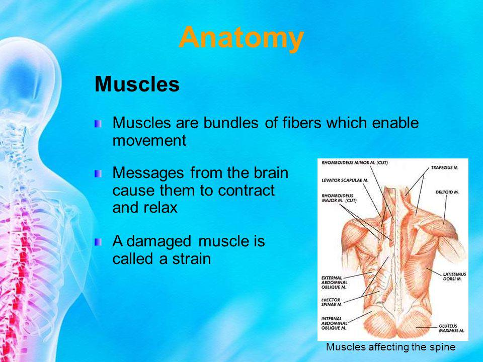 Anatomy Muscles Muscles are bundles of fibers which enable movement