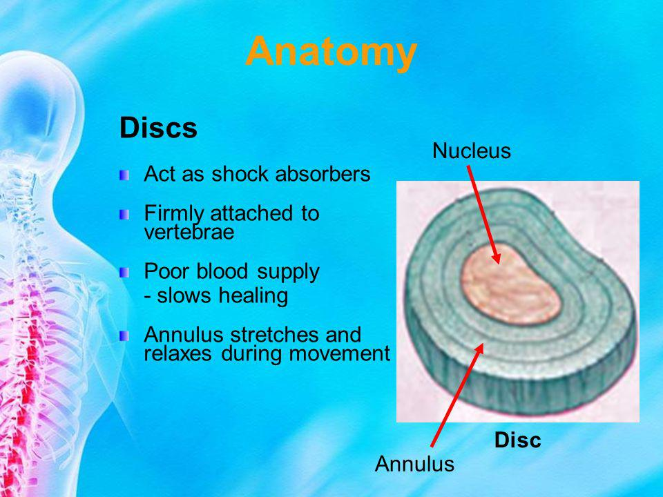 Anatomy Discs Act as shock absorbers Nucleus