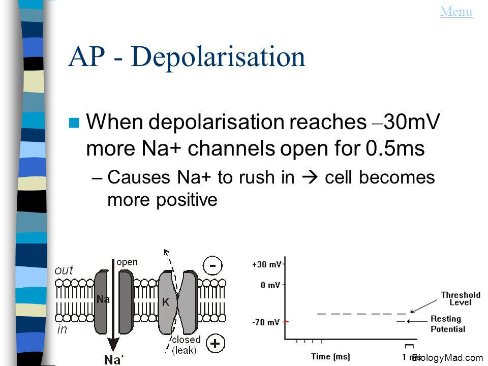 Menu AP - Depolarisation. When depolarisation reaches –30mV more Na+ channels open for 0.5ms. Causes Na+ to rush in  cell becomes more positive.