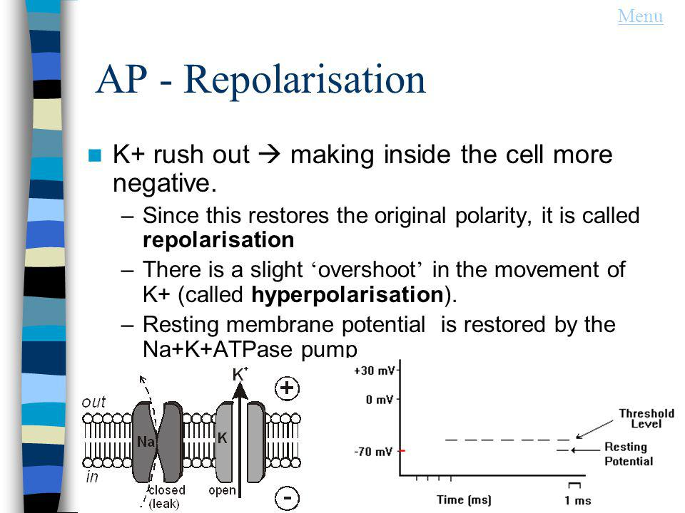 Menu AP - Repolarisation. K+ rush out  making inside the cell more negative.
