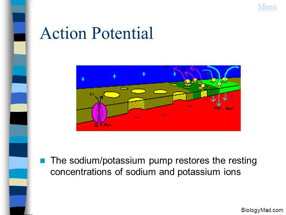 Menu Action Potential. The sodium/potassium pump restores the resting concentrations of sodium and potassium ions