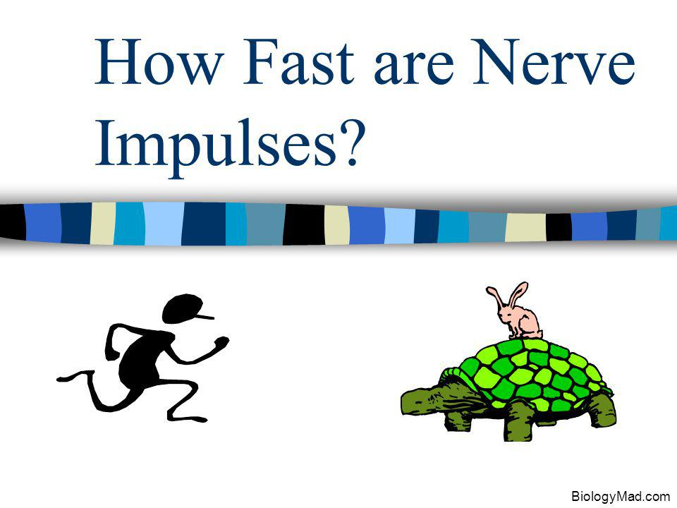 How Fast are Nerve Impulses