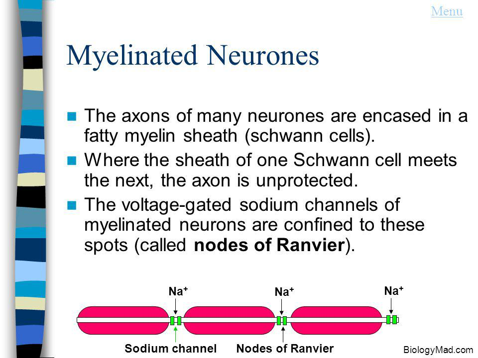 Menu Myelinated Neurones. The axons of many neurones are encased in a fatty myelin sheath (schwann cells).