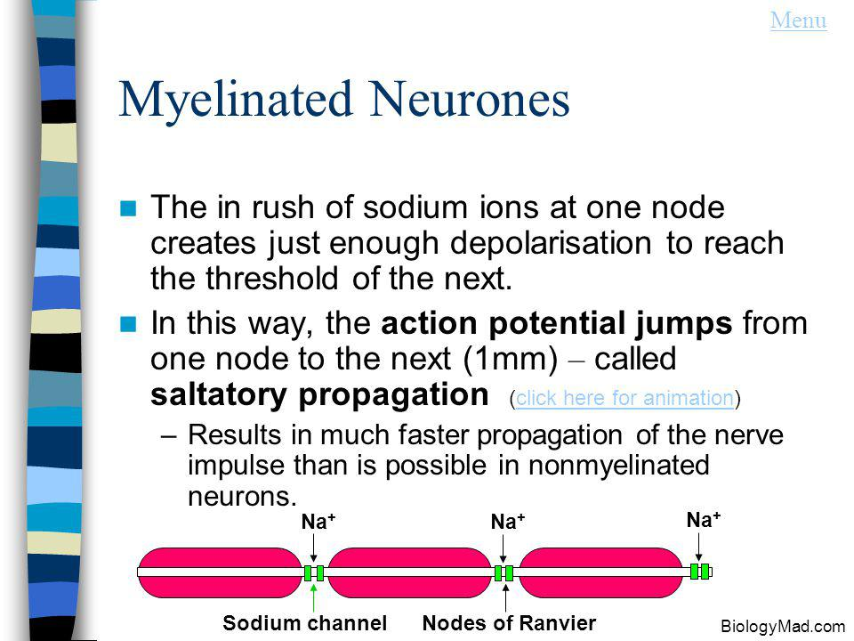 Menu Myelinated Neurones. The in rush of sodium ions at one node creates just enough depolarisation to reach the threshold of the next.