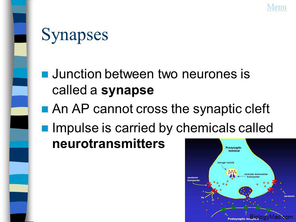 Synapses Junction between two neurones is called a synapse