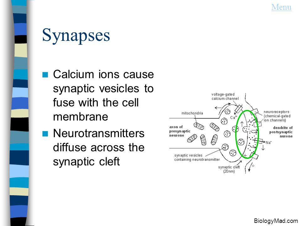 Menu Synapses. Calcium ions cause synaptic vesicles to fuse with the cell membrane. Neurotransmitters diffuse across the synaptic cleft.