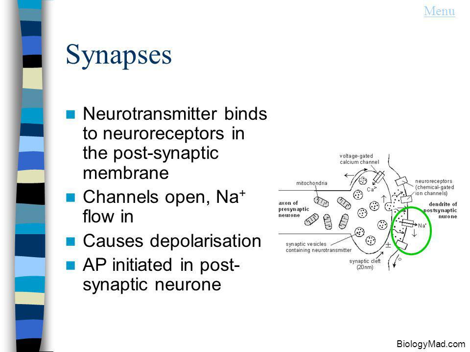 Menu Synapses. Neurotransmitter binds to neuroreceptors in the post-synaptic membrane. Channels open, Na+ flow in.