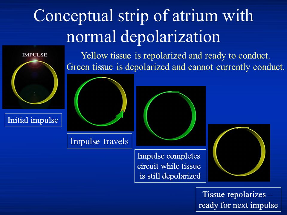 Conceptual strip of atrium with normal depolarization