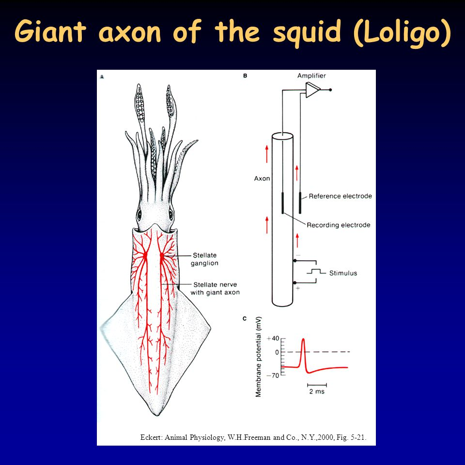 action potentials in squid axon Action potentials travel faster in a larger axon than a smaller one, and squid have evolved the giant axon to improve the speed of their escape response squids use this system primarily for making brief but very fast movements through the water.