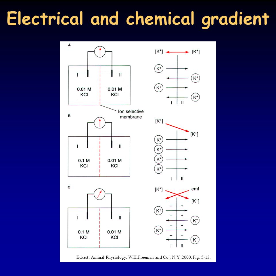 Electrical and chemical gradient