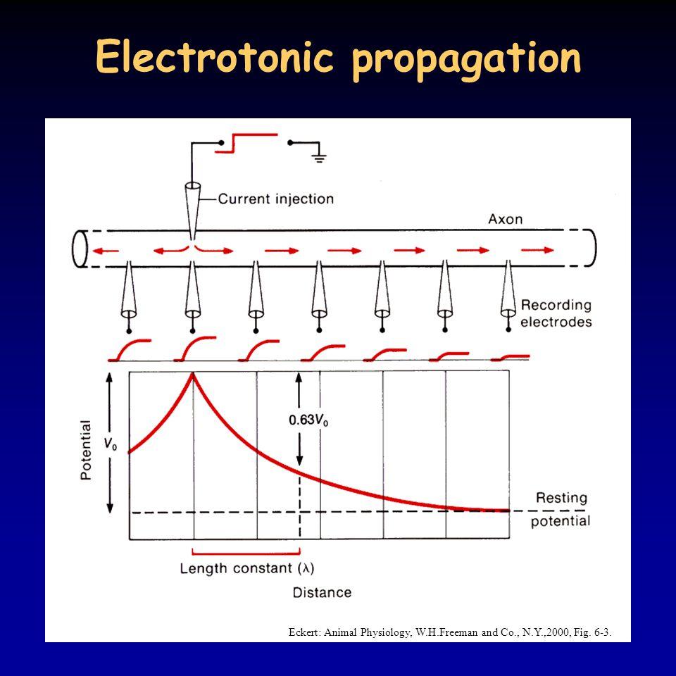Electrotonic propagation