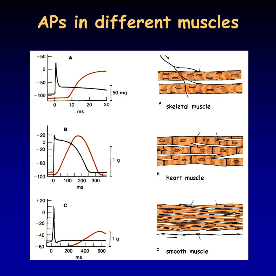 APs in different muscles