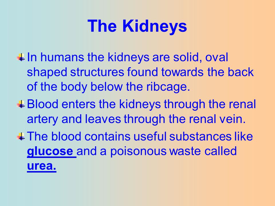 The Kidneys In humans the kidneys are solid, oval shaped structures found towards the back of the body below the ribcage.