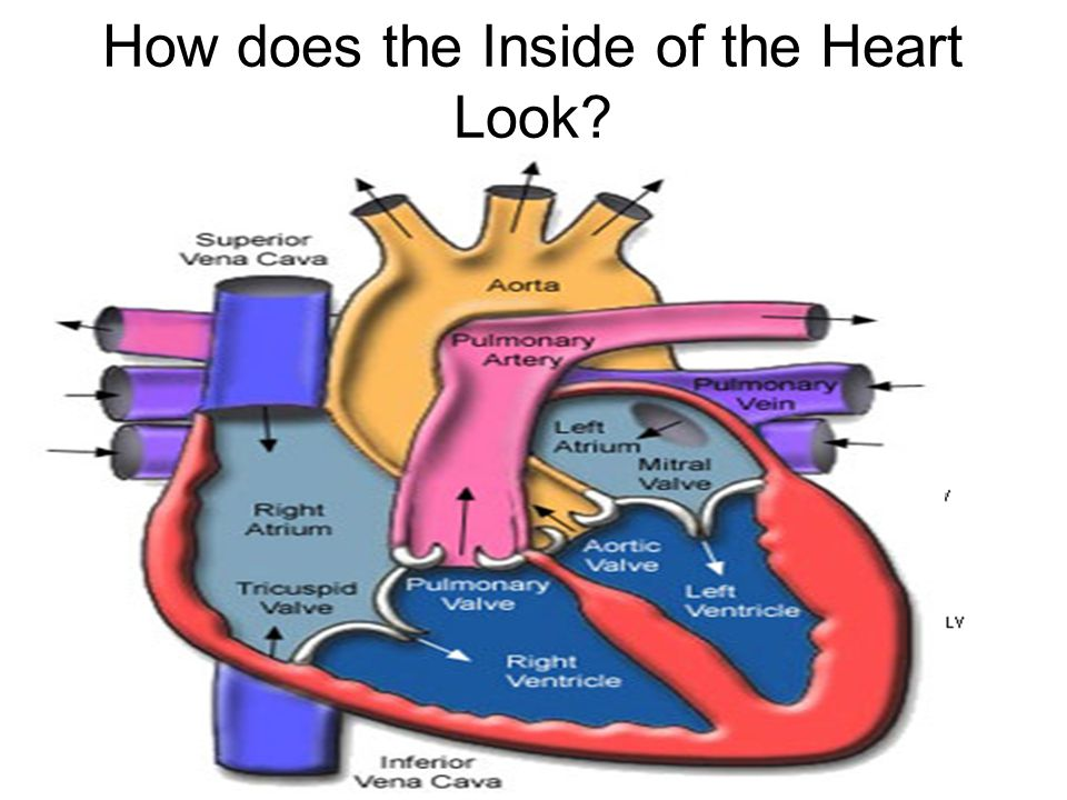 How does the Inside of the Heart Look