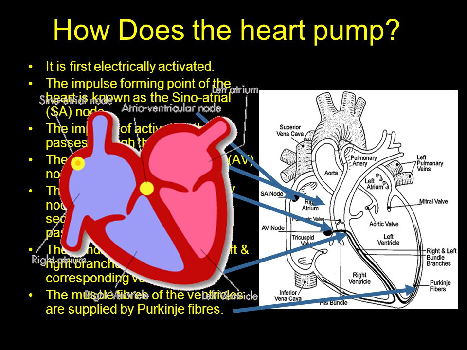 How Does the heart pump It is first electrically activated.