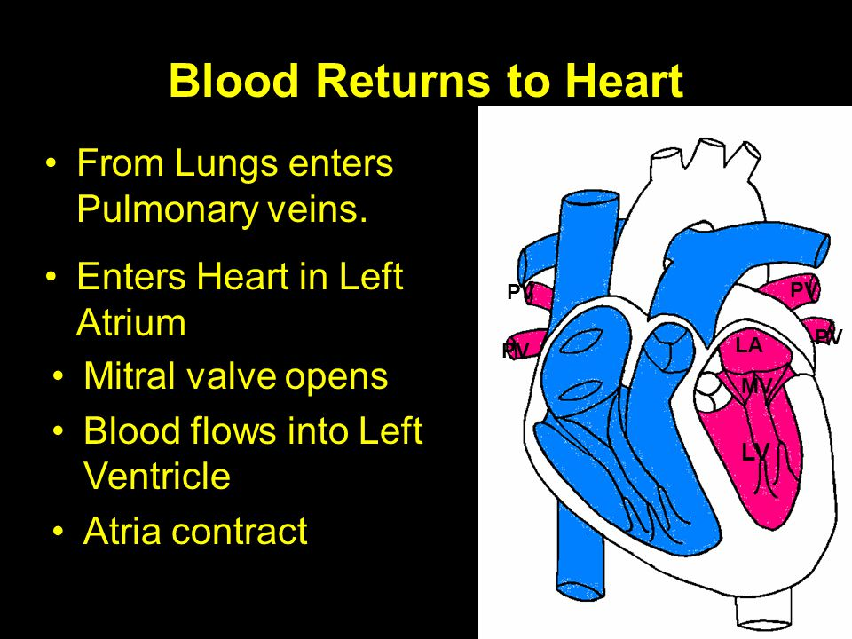 Blood Returns to Heart From Lungs enters Pulmonary veins.