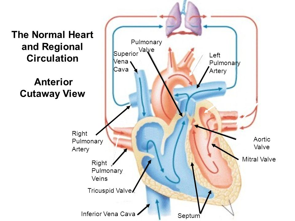 The Normal Heart and Regional Circulation