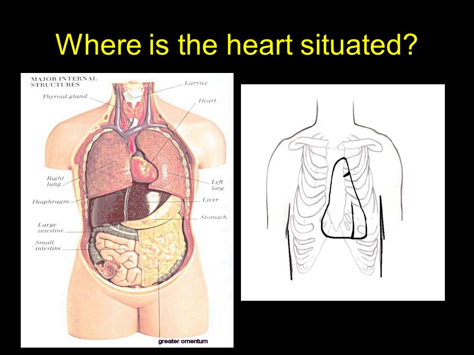 Where is the heart situated