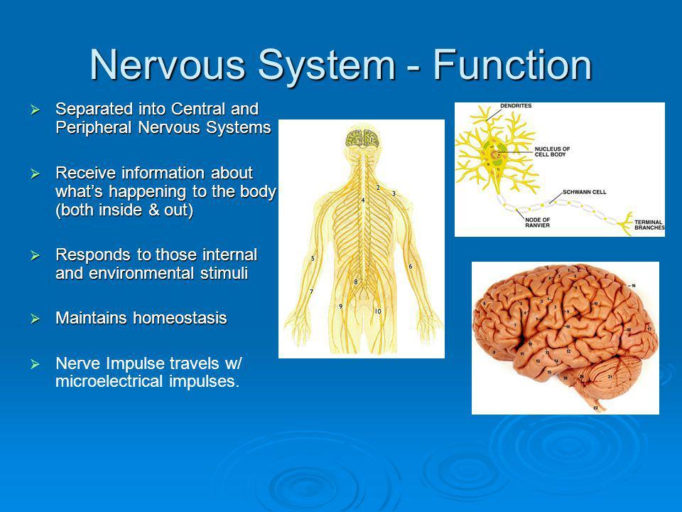 Nervous System - Function
