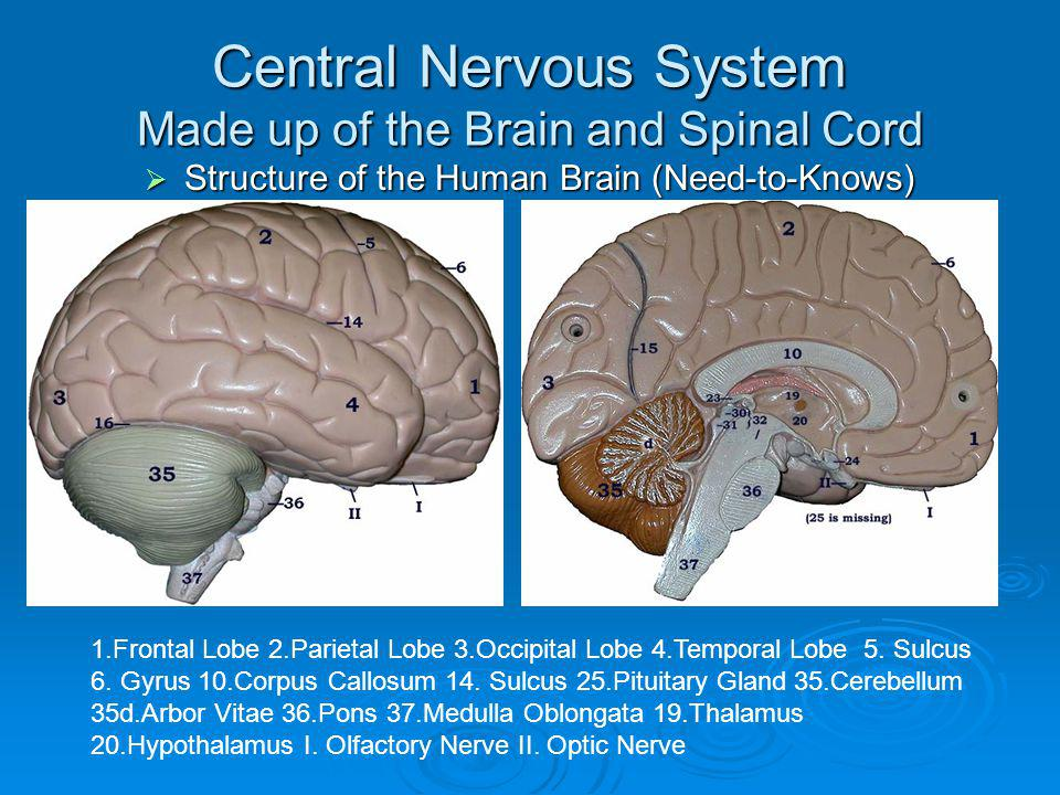 Central Nervous System Made up of the Brain and Spinal Cord