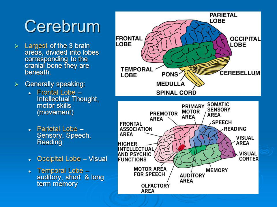 Cerebrum Largest of the 3 brain areas, divided into lobes corresponding to the cranial bone they are beneath.