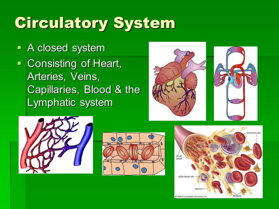 Circulatory System A closed system