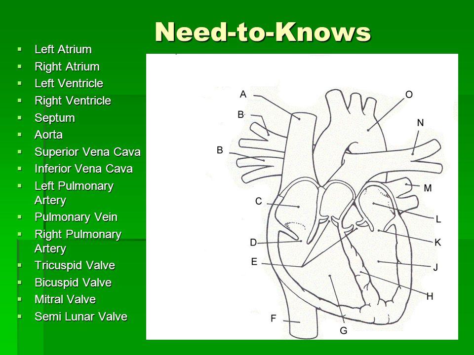 Need-to-Knows Left Atrium Right Atrium Left Ventricle Right Ventricle