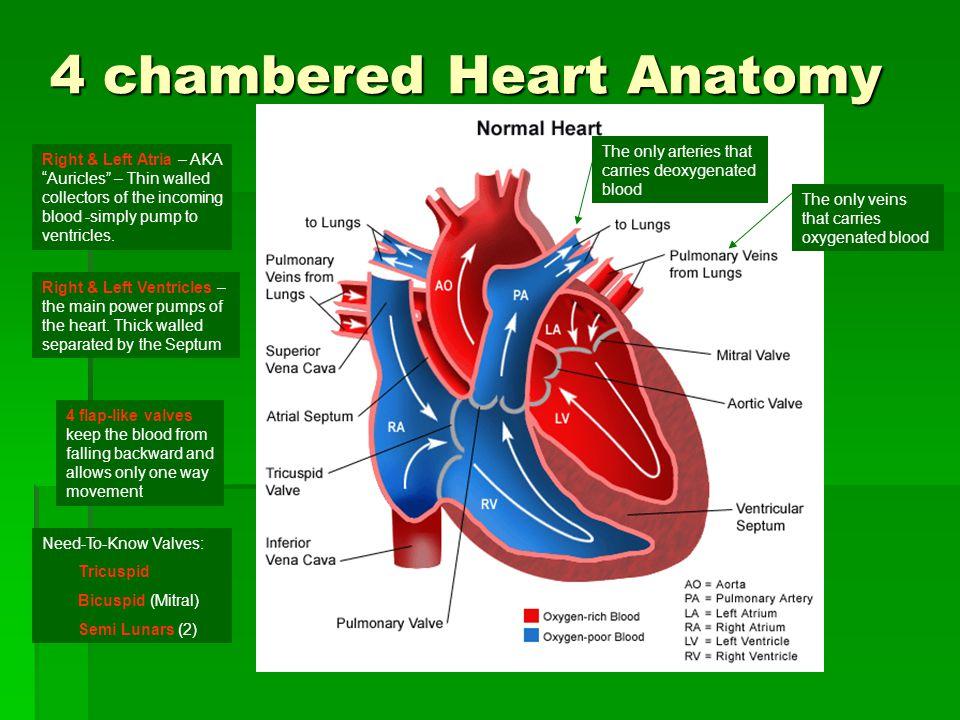 4 chambered Heart Anatomy