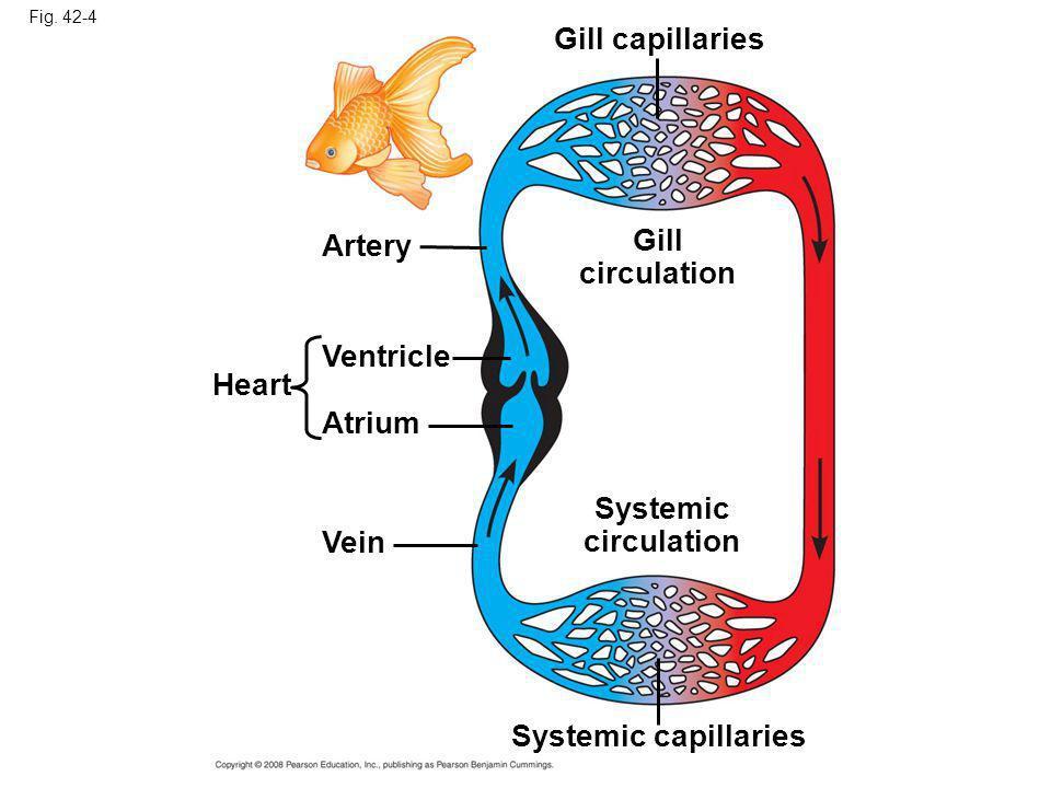 Gill circulation Systemic circulation