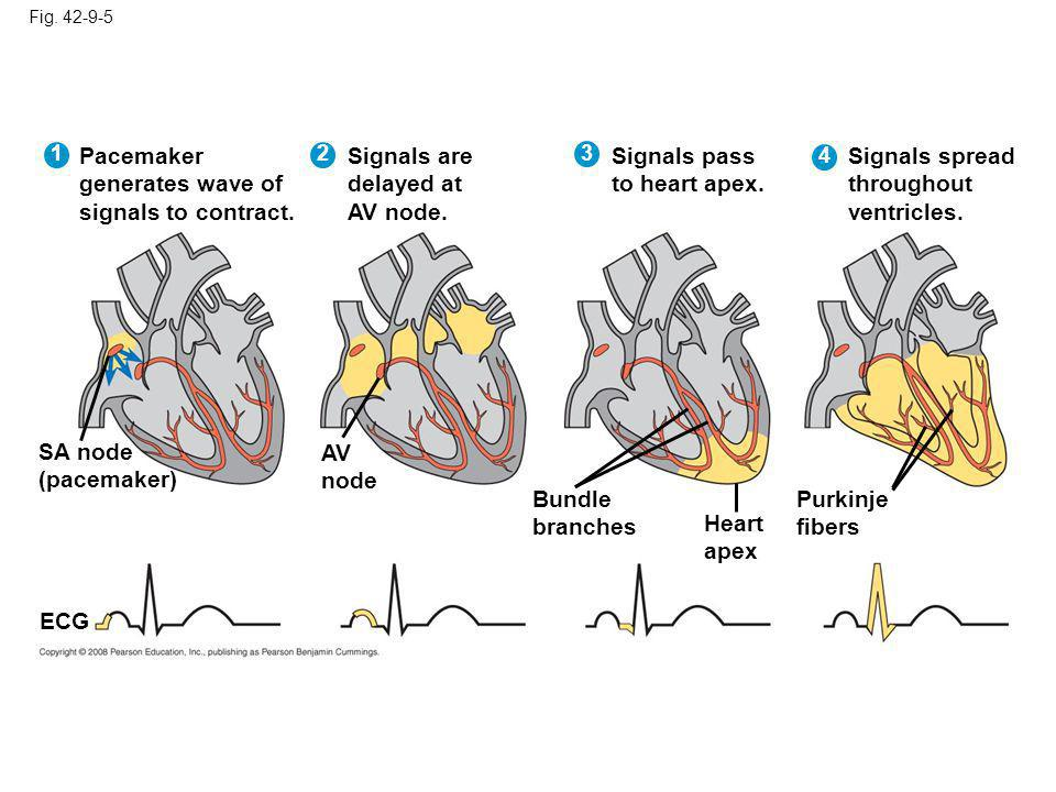 Pacemaker generates wave of signals to contract. Signals are