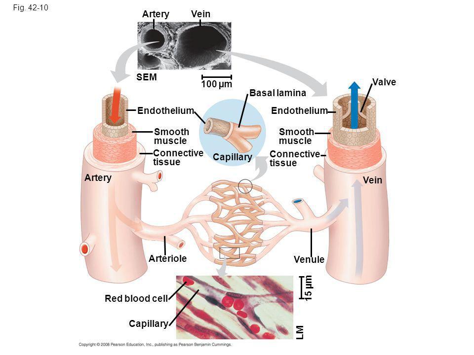 Artery Vein SEM 100 µm Valve Basal lamina Endothelium Endothelium