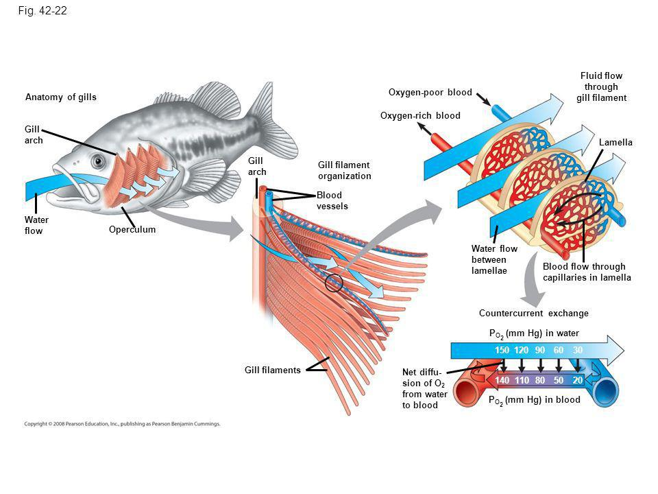 Figure 42.22 The structure and function of fish gills