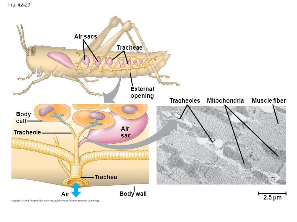 Air sacs Tracheae External opening Tracheoles Mitochondria
