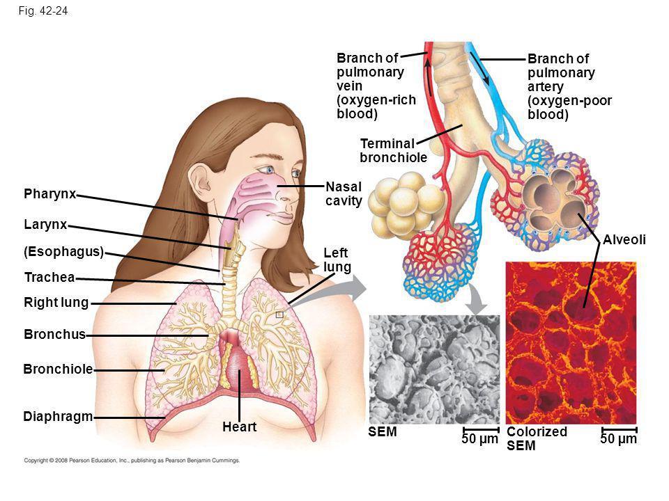 Branch of pulmonary vein (oxygen-rich blood) Branch of pulmonary