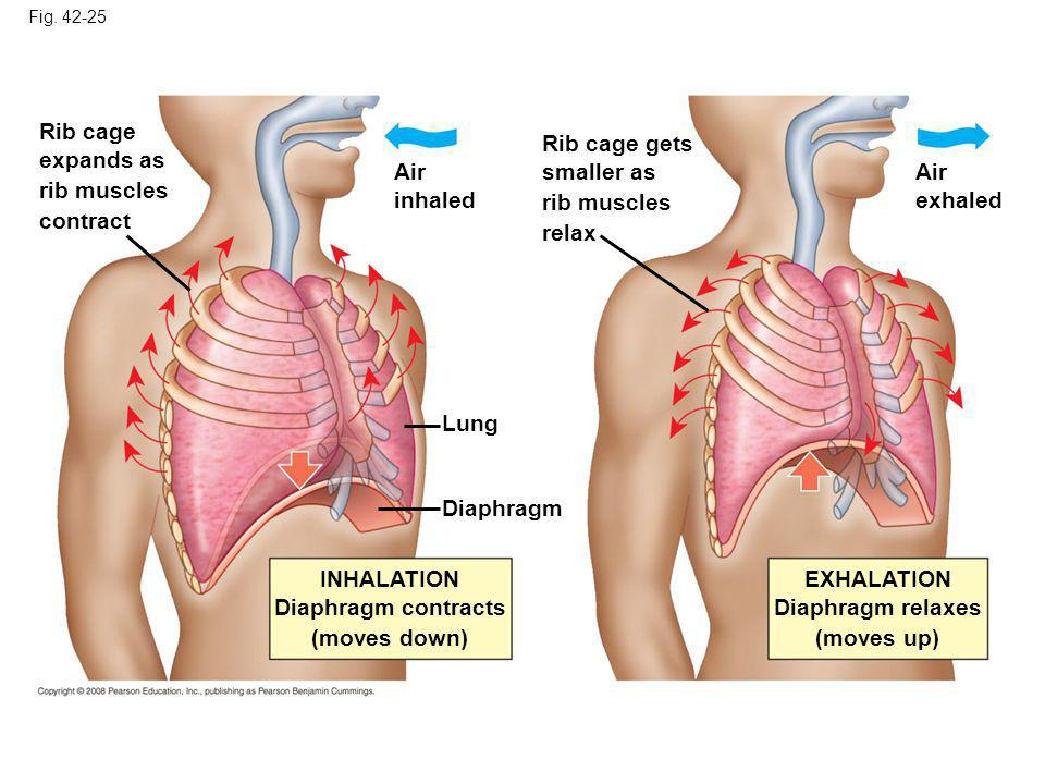 Rib cage expands as rib muscles contract Rib cage gets smaller as