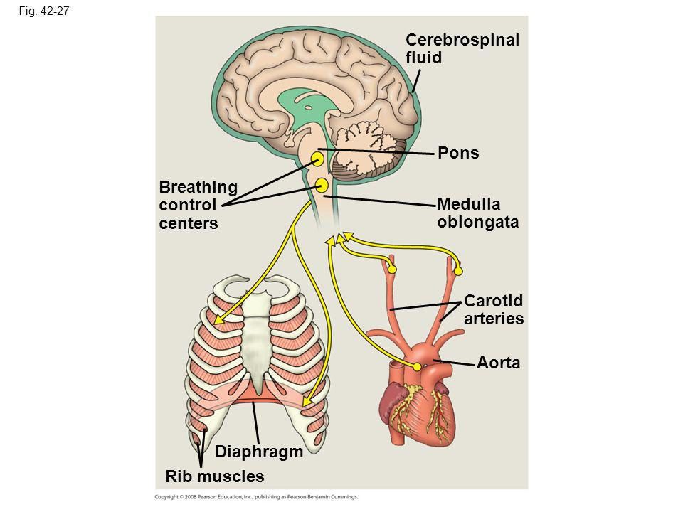 Cerebrospinal fluid Pons Breathing control centers Medulla oblongata
