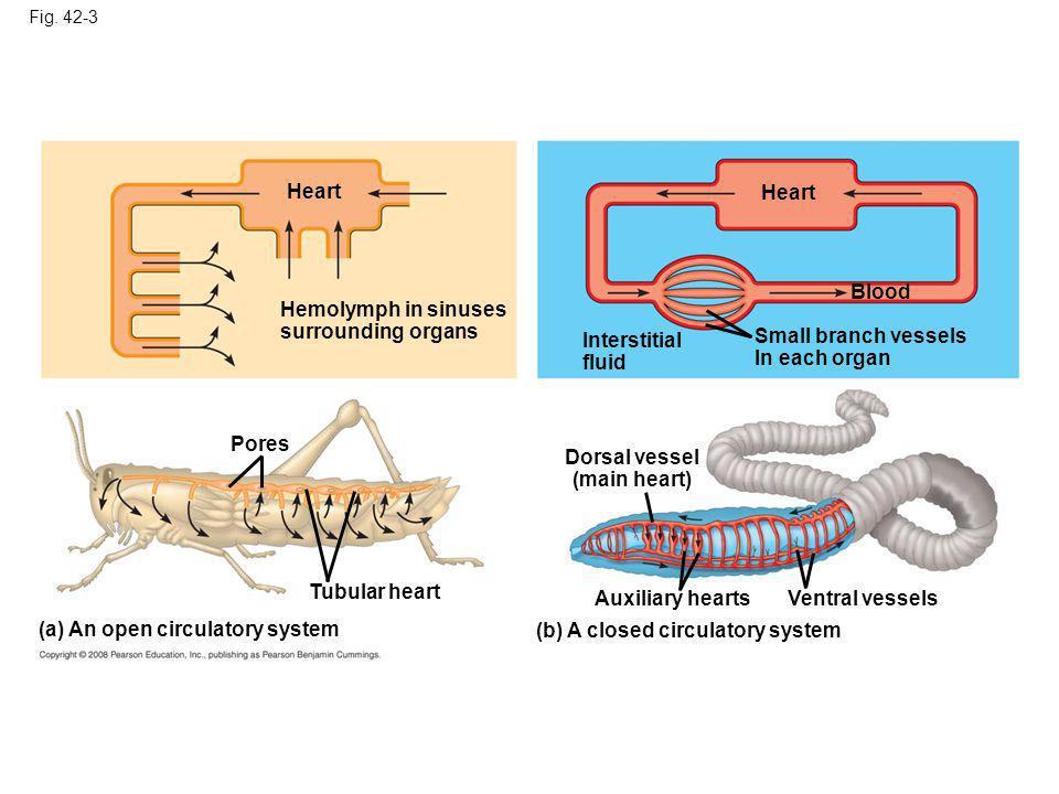 Dorsal vessel (main heart)