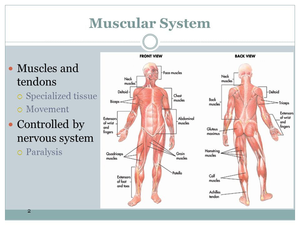 Muscular System Muscles and tendons Controlled by nervous system