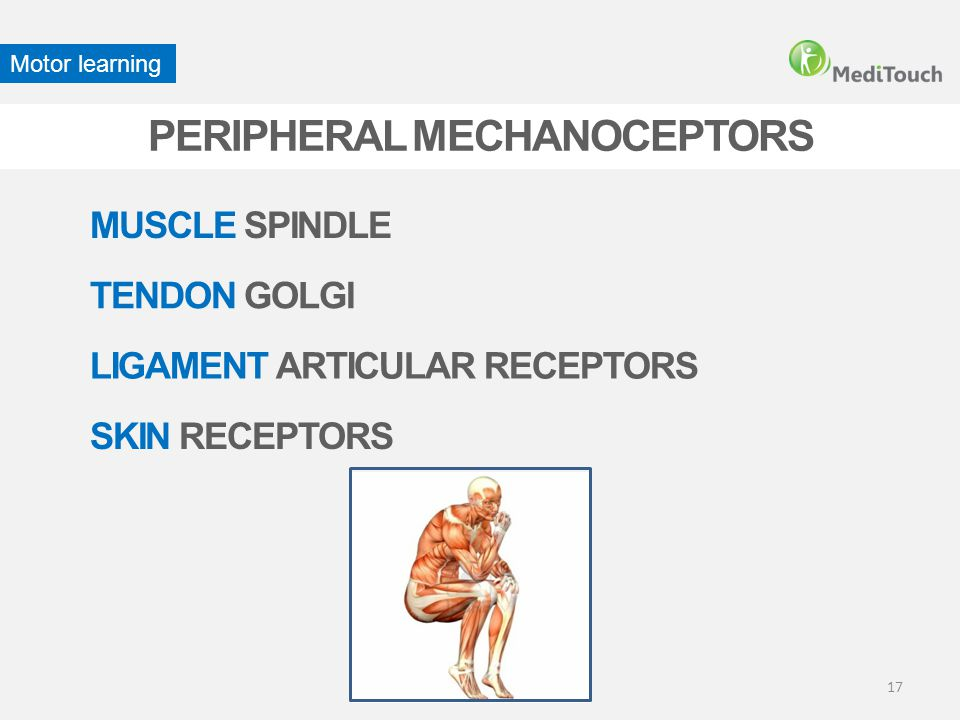 PERIPHERAL MECHANOCEPTORS