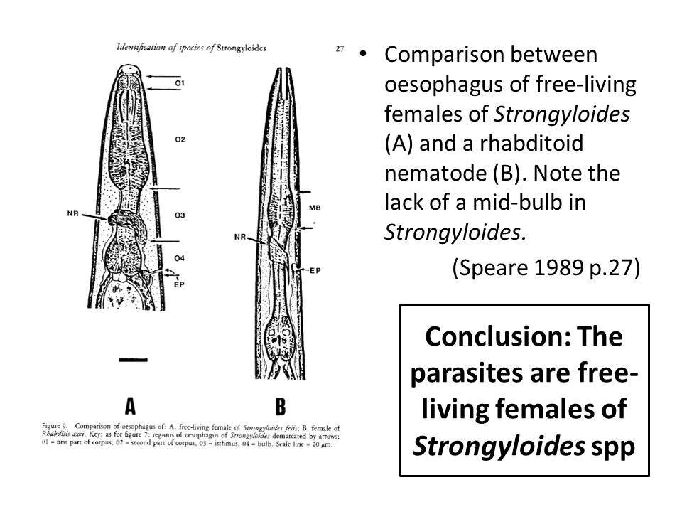 Conclusion: The parasites are free-living females of Strongyloides spp