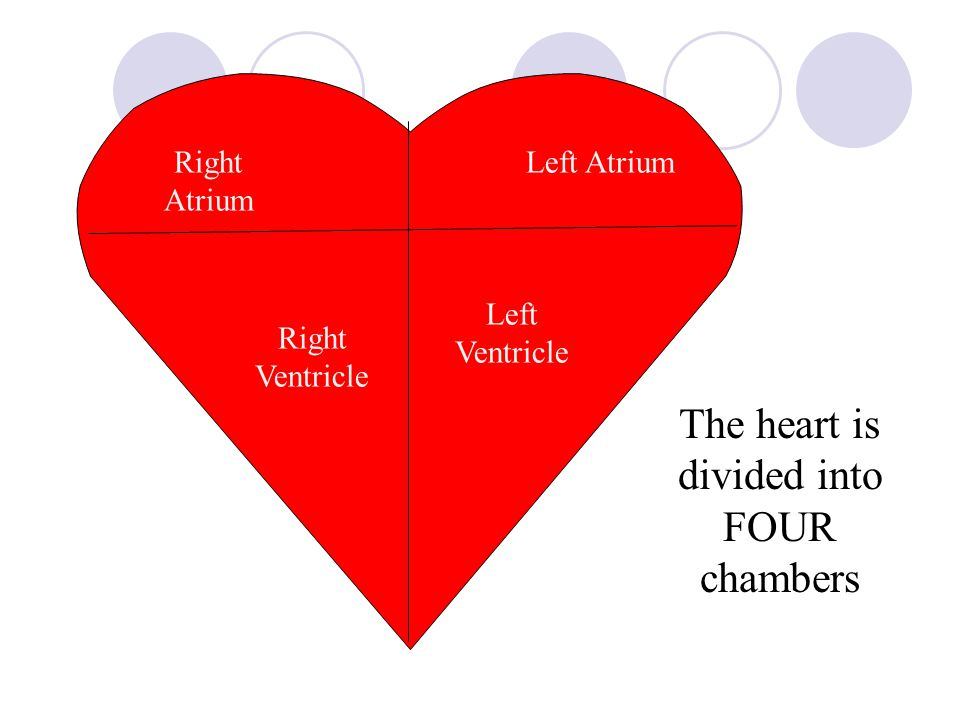 The heart is divided into FOUR chambers