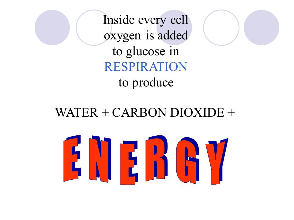 Inside every cell oxygen is added to glucose in RESPIRATION to produce