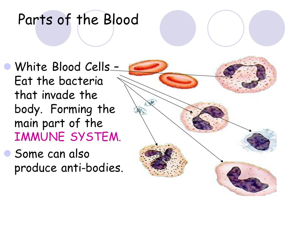 Parts of the Blood White Blood Cells – Eat the bacteria that invade the body. Forming the main part of the IMMUNE SYSTEM.